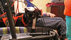 En svart katt står på en stol. Katten har en arbetssele på. Katten besöker ett ålderdomshem och en del av en rullstol syns i bilden.
