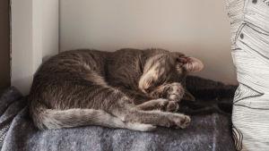 Harmaa, nukkuva kissa.