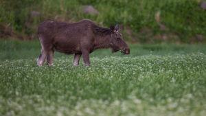 Uroshirvi tallustelee pellolla.