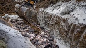 En grävskopa gräver bland minkkadaver.
