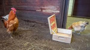 En tupp och en höna går på golvet bredvid en öppnad låda inne i en lada.