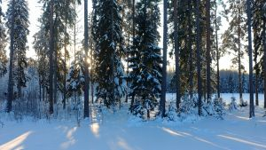 Solen lyser genom en snöig skog.