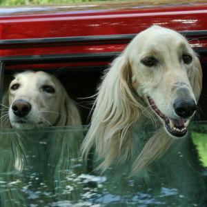 Hundar i en bil.