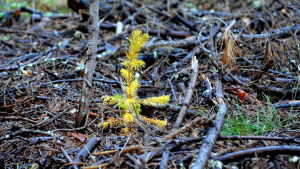 plantor satta på kalhygge.