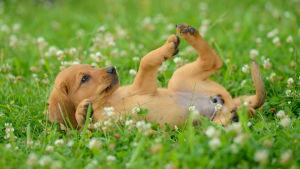 En hund ligger i ett fält med blommor och leker.