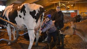 En kvinna drar i spenan på en ko medan mannen står bredvid. En annan ko följer intresserat med. De är inne i en ladugård.