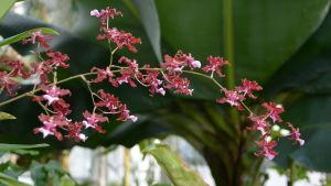 En röd orkidéblomma