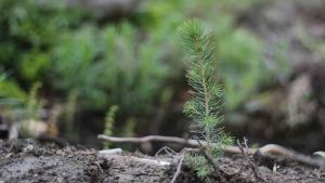 Granplanta i skogen.