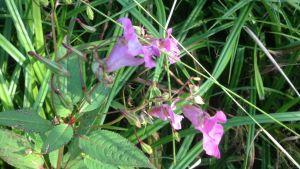 Jättebalsamin blommar i Maren i Borgå