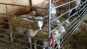 Fårtacka med några lamm i en inhägnad inomhus.