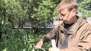 Juha Raisio oundersöker löven på ett fridlyst exemplar av knäckepil.