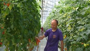 Man står i mitten av rad med tomatplantor. Han håller i några tomater. Bakom honom synns en annan man och lådor med tomater.