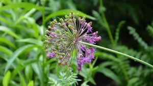 En lila blomma i grönskande trädgård.