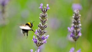 En humla flyger mot en lila lavendel.