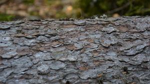 Grånad bark med små hål i. Hålen är gjorda av barkborre.