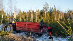 Granar som odlas i skogen lastas på traktorsläp