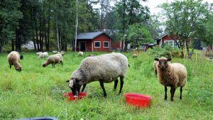 Får och lamm på Bovik gård i Snappertuna, Raseborg.
