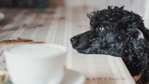 Musta villakoira nojaa päätään kahvilan pöytään. Etualalla kahvikuppi.