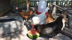Fyra hönor äter melon