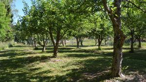 Tiotals äppelträd på rad
