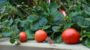 självodlade röda körsbärstomater