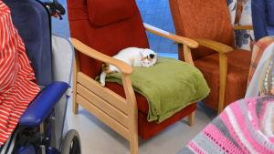 Katten Molly vilar i en länsstol.