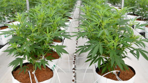 Cannabisplantor odlade inomhus.