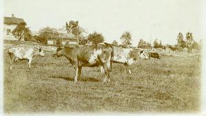 Kor på bete. I bakgrunden boningshus och en stengärdsgård.Tidigt 1900-tal.