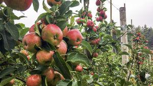 Ljust röda äpplen på äppelträd.