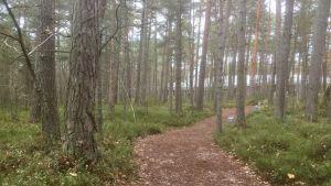 Stigen som leder till Arvo Pärt-center går genom tallskogen.
