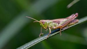 En grön gräshoppa på ett grönt blad