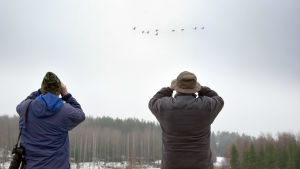 Roger Mortberg och Hans Lindholm tittar med kikare efter en flock svanar.