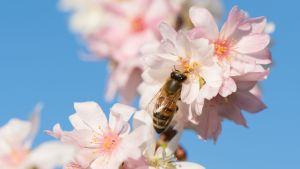 Ett bi på körsbärslblommor i Dresden i Tyskland i december.