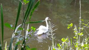 En svan simmar i en å.