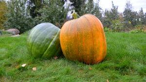 Grön fältpumpa och orange jättepumpa.