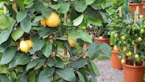 Citrusträd i krukor