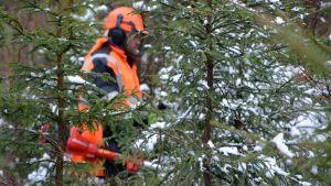 Peter Olander röjer skog på Emaslö i Borgå