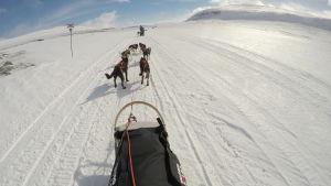 hundspann, vinter, snö och solsken, släde