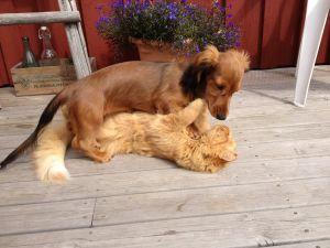 En hund och en katt som leker med varandra