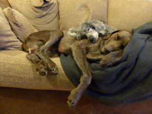 kaksi koiraa nukkuu sohvalla puolittain toistensa päällä