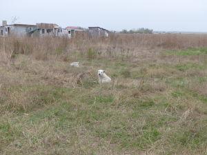koira makaa maassa pellolla Romaniassa
