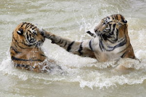 Tigers play together while swimming at the Xiongsen Bear and Tiger Mountain village, home to about 1,400 reserve tigers in Guilin, China, 24 August 2007.