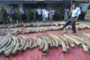 A police officer walks amongst seized elephant tusks displayed on the ground in Tudor estate in the port city Mombasa, Kenya, 05 June 2014. A total of 228 whole elephant tusks and others in peices were seized by police, who raided a warehouse in the port