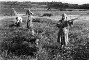 Rukiinkorjuuta Sungussa. Naisia ruispellolla. Naiset sitovat ruislyhteitä.
