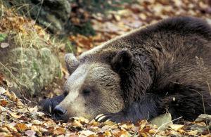 Sovande björn