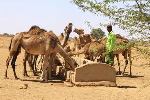 kameler i somaliland