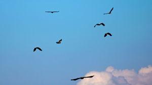nuoret merikotkat taivaalla