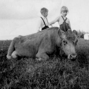 Kotona oli pari lehmää 60-luvulla. Kuvassa Kielo-lehmän kanssa.