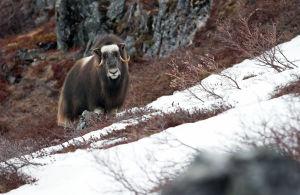 Myskihärkä vuorella Grönlannissa.