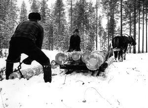 Metsätyöt. Puunkorjuu. Miehiä metsätöissä talvella, nostamassa tukkisaksilla  (tukkisakset) puunrunkoja (tukkeja, tukki) hevosen vetämään rekeen. Metsätyömies,  metsuri